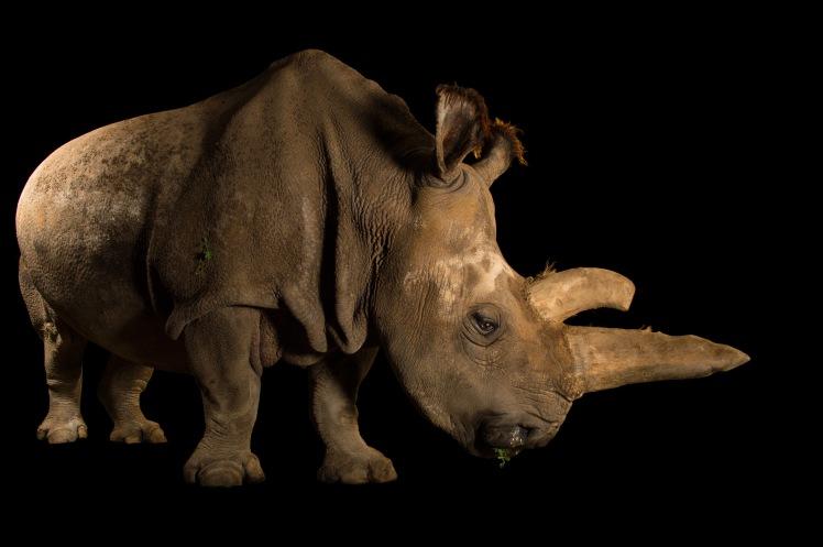 rare-e3-rhino-3x2